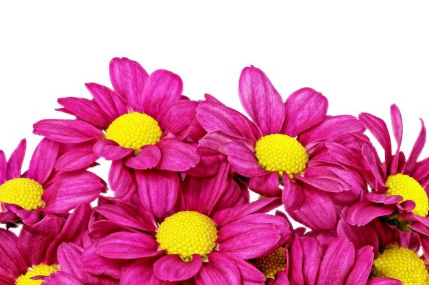 Piękne fioletowe czerwone kwiaty dalia.