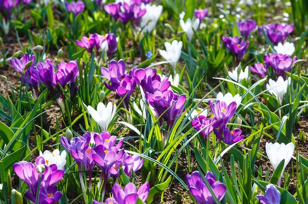 Piękne fioletowe i białe krokusy w okresie wiosennym