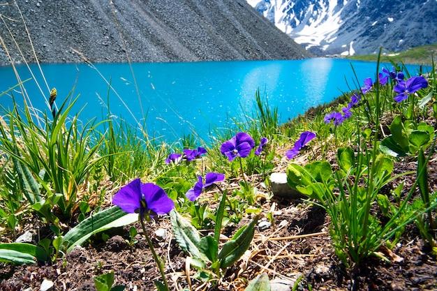 Piękne fioletowe i niebieskie kwiaty na tle górskiego jeziora i ośnieżonych szczytów w wysokich górach ałtaju. dzika przyroda syberii w rosji. piękny krajobraz na tle.