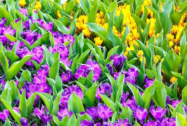Piękne fioletowe i żółte krokusy (makro) w okresie wiosennym