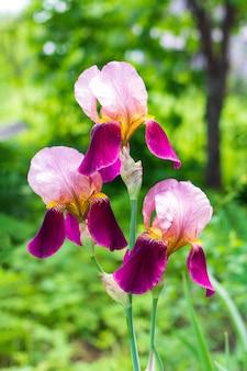 Piękne fioletowe irysy kwiaty na zielonym naturalnym tle z bliska