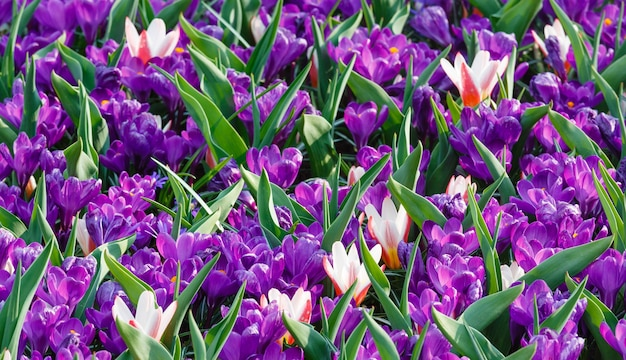 Piękne fioletowe krokusy i kilka biało-czerwonych tulipanów (makro) w okresie wiosennym. tło natura.