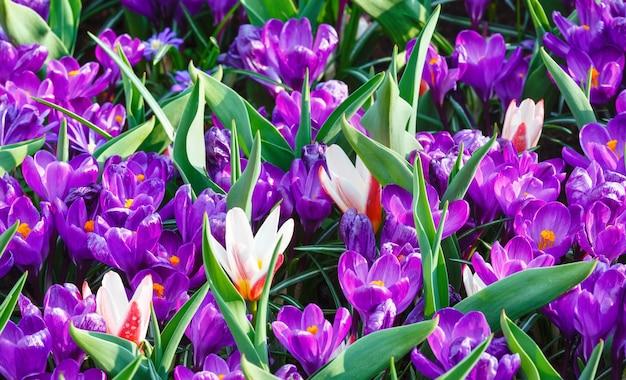 Piękne fioletowe krokusy i kilka biało-czerwonych tulipanów (makro) w okresie wiosennym