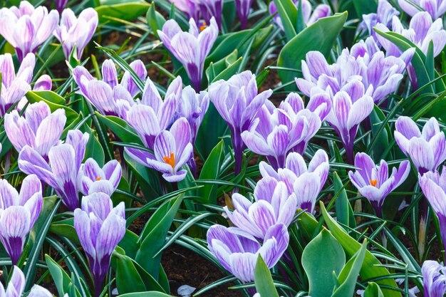 Piękne fioletowe krokusy makro na wiosnę. tle przyrody.