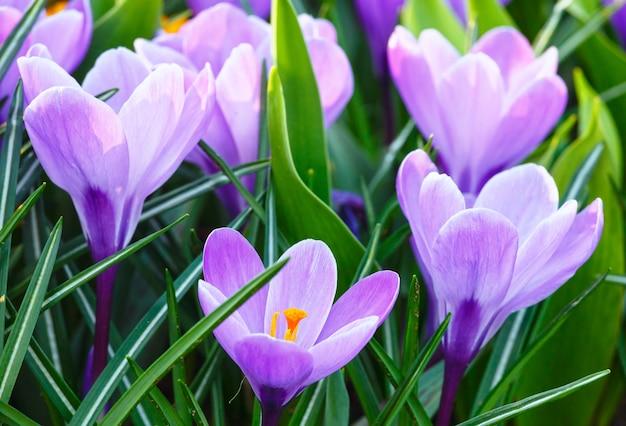 Piękne fioletowe krokusy (makro) w okresie wiosennym