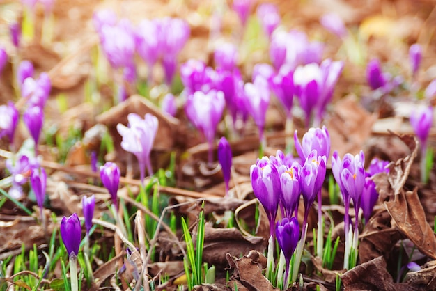 Piękne fioletowe krokusy w okresie wiosennym