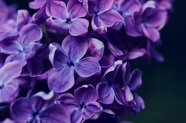 Piękne fioletowe kwiaty bzu. fotografia makro bzu wiosennych kwiatów.