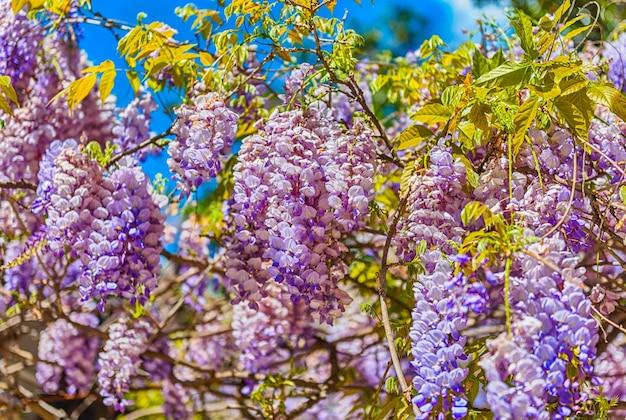 Piękne fioletowe kwiaty glicynii na wiosnę, nakręcone w rzymie, włochy