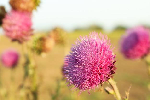 Piękne fioletowe kwiaty łopianu. letni poranek letnia przyroda