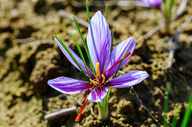 Piękne fioletowe kwiaty szafranu na polu podczas kwitnienia