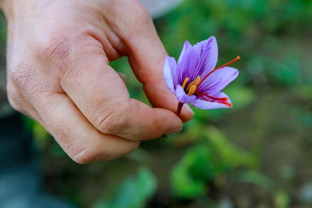 Piękne fioletowe kwiaty szafranu w ręku podczas zbioru