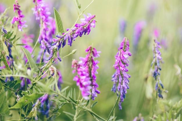 Piękne fioletowe kwiaty wyki ptasiej na niewyraźnym stole