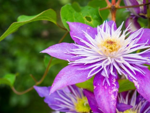 Piękne fioletowe zbliżenie powojników na tle