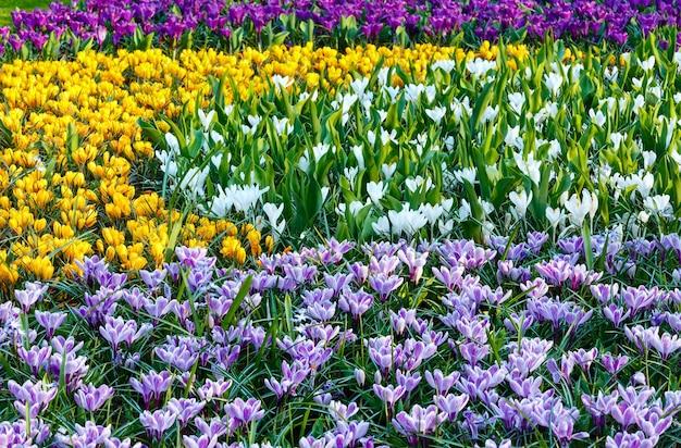 Piękne fioletowe, żółte i białe krokusy (makro) w okresie wiosennym