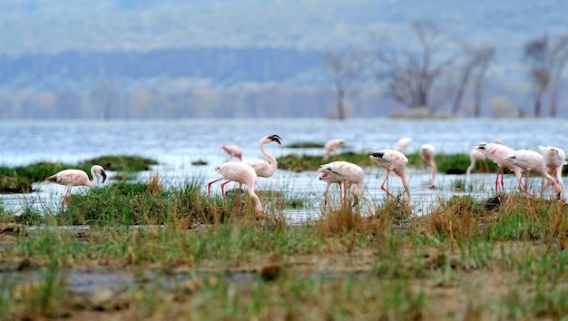 Piękne flamingi na jeziorze. kenia, afryka