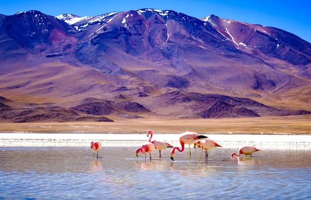Piękne flamingi w słonecznej lagunie w górskiej boliwii