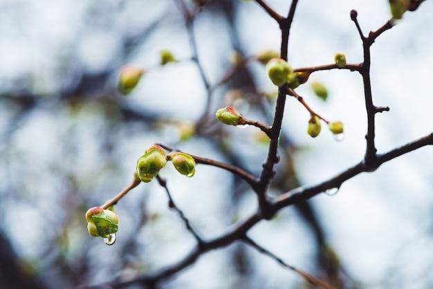 Piękne gałęzie lipy z bliska kwitnienia pąków w czasie wiosennej deszczu