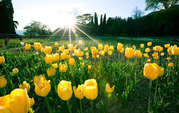 Piękne, hipnotyzujące pole z żółtymi tulipanami