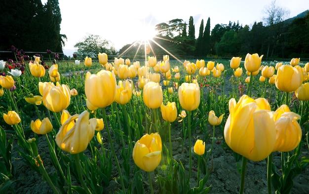 Piękne hipnotyzujące pole z żółtymi tulipanami