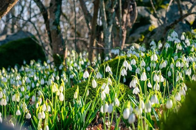 Piękne i delikatne pierwsze wiosenne kwiaty przebiśniegów w lesie.