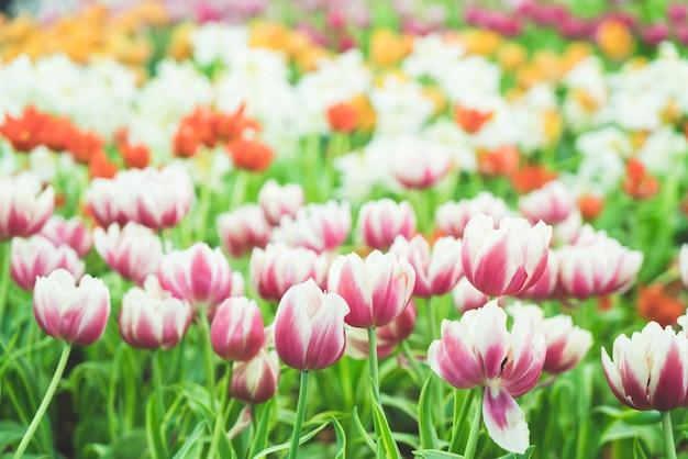 Piękne i kolorowe tulipany w ogrodzie
