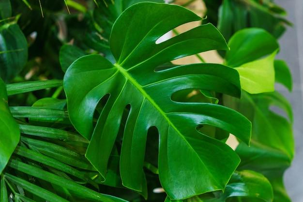 Piękne i niezwykłe liście monstery na tle innych zielonych roślin i gałęzi mons...
