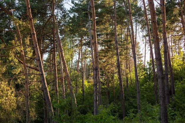 Piękne i wysokie drzewa w lesie lśniącym pod błękitnym niebem