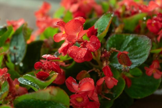 Piękne jaskrawoczerwone kwiaty begonii w doniczce na domowym tarasie. koncepcja ogrodnictwa i sadzenia w domu
