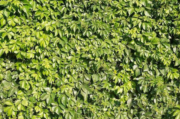 Piękne jasne zielone liście w tle wczesną wiosną