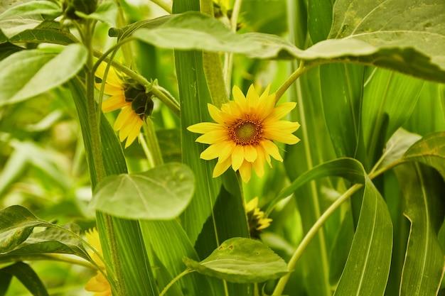 Piękne jasne żółte słoneczniki w ogrodzie.