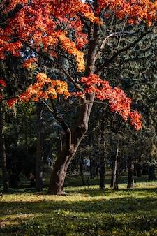 Piękne jesienne drzewa z pomarańczowymi liśćmi