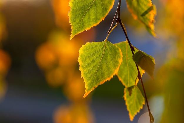 Piękne jesienne liście brzozy.