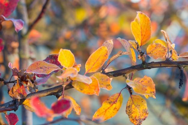 Piękne jesienne liście jabłka w mrozie