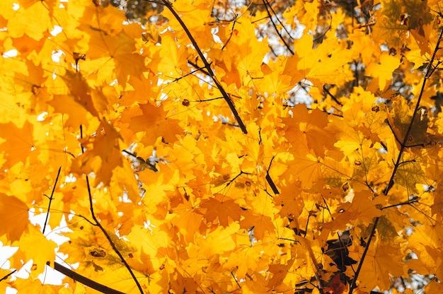Piękne jesienne liście żółtego dębu z bliska.