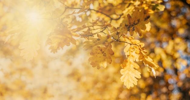 Piękne jesienne tło ze złotymi liśćmi dębu i bokeh