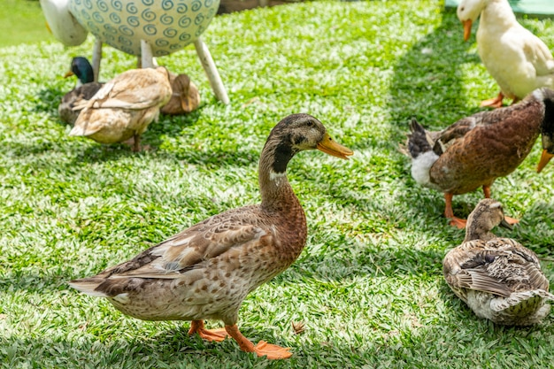 Piękne kaczki leżące na trawie.