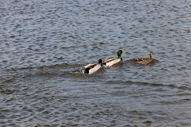 Piękne kaczki ptactwa wodnego w wodzie, pływające dzikie kaczki w wodzie jeziora lub rzeki, dzikie kaczki pływające po jeziorze