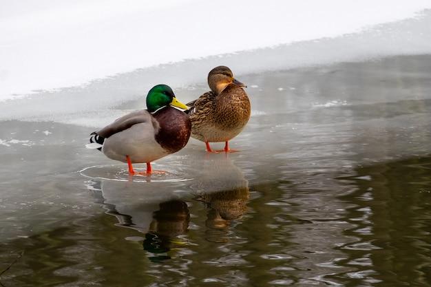 Piękne kaczki zbliżenie na brzegu jeziora zimą