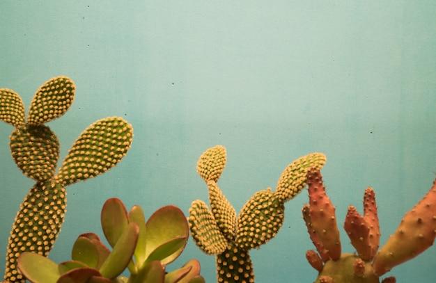 Piękne kaktusy przed niebieską ścianą