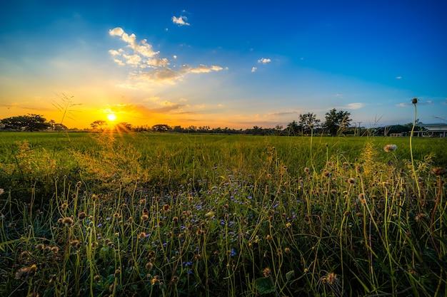 Piękne kępa trawy dziki kwiat ciepłe światło i zielone pole niwa lub kukurydza w azji rolnictwa kraju zbiorów z zachodu słońca na tle nieba.
