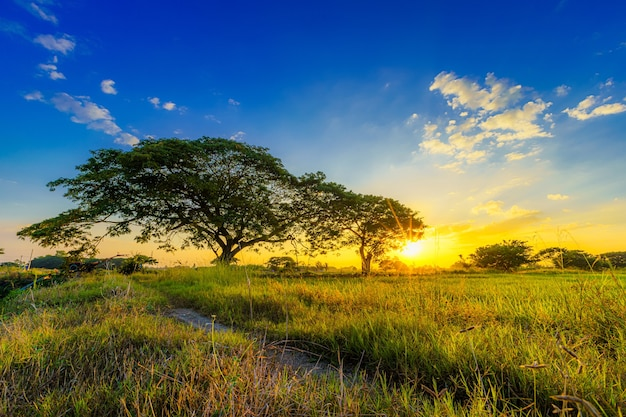 Piękne kępa trawy dziki kwiat ciepłe światło i zielone pole niwa lub kukurydzy i zielonego drzewa w kraju azji zbiorów rolnictwa z zachodu słońca na tle nieba.