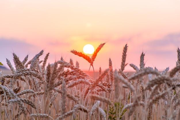 Piękne kłosy pszenicy. pole pszenicy zachód lub świt. mała głębia ostrości