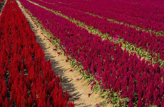 Piękne kolorowe czerwone lub różowe zarozumialec celosia kwiaty wzór gospodarstwa kwitnące w ogrodzie tle przyrody w tajlandii