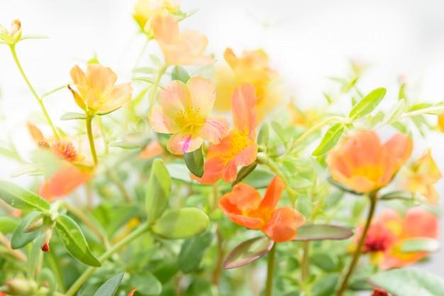 Piękne kolorowe portulaka zwyczajna, verdolaga, chrzan, barszcz mały, pole kwiatów pusley w słoneczny dzień