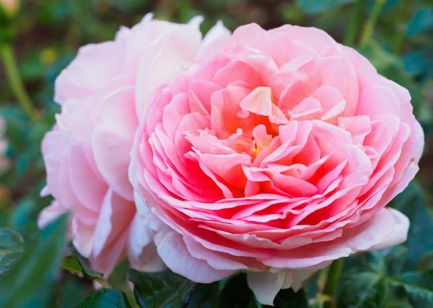 Piękne kolorowe róże kwitną w ogrodzie