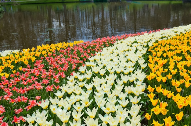 Piękne kolorowe wiosenne kwiaty w parku w holandii holandia