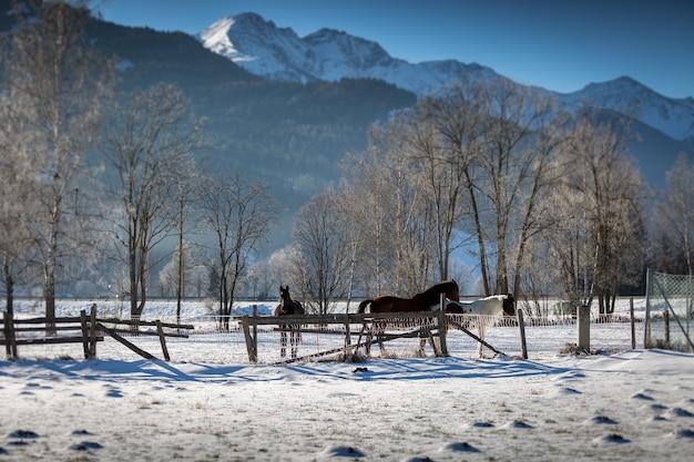 Piękne konie pasące się na padoku w góralskiej farmie w śnieżny dzień