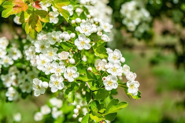 Piękne krajobrazy białych kwiatów wiśni na polu w ciągu dnia