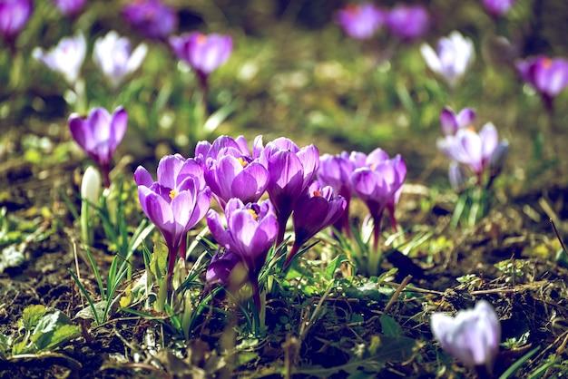 Piękne krokusy wiosenne najpierw cebulowe. grupa kwitnących fioletowych kwiatów