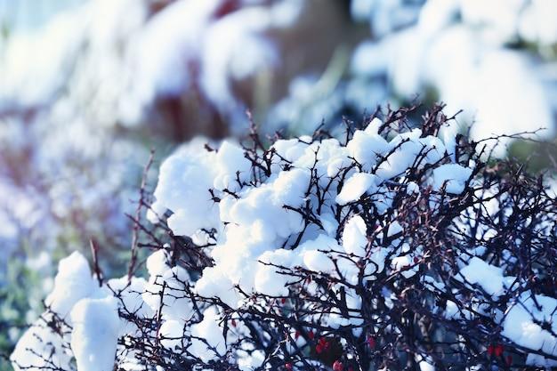 Piękne krzewy pokryte śniegiem w słoneczny zimowy dzień, zbliżenie